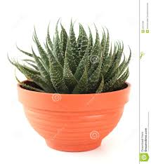 aloe vera in a pot royalty free stock images image 20679789