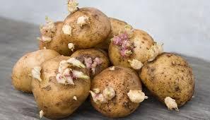 kartoffeln lagern so bleiben sie am längsten frisch