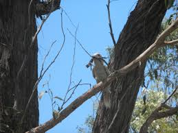 Kookaburra – My Wild Australia Roadsendnaturalist Roads End Naturalist Raptormaniacs San Diego Zoo Part I Reptile Mesa Lovely Plantings My Adventures In Gardening Big White Throat Monitor Lizard Reptilians Do It Best 1985 Best Amazing Lizards Images On Pinterest Chameleons Lorde Archives The Key Digital Wallpaper Beautiful Ldon V House Pet Updates Chris And Ash Discussions Of Exotic Species Music Concerts Life Dead Milkmen Laurel Hill July 2010