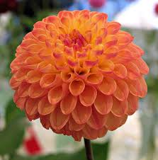Greeks Bearing Gifts 39850485 Dahlia Clearview Butterscotch National Capital Society Show Brookside Gardens Wheaton