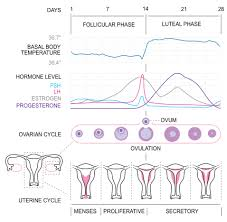 Shedding Of The Uterine Lining Is Called by Physiology Of The Female Reproductive System Boundless Anatomy