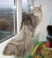 forest cat vs maine coon 274 best maine coon mania images on animals kitty