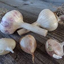 bulgaria agia 49 artichoke seed 2 bulbs tasmanian gourmet
