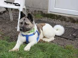 Do Akitas Shed Hair by Akita Dog Breed Information Buying Advice Photos And Facts