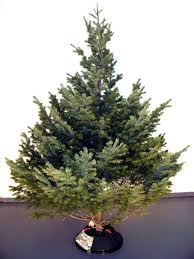 Nordmann Fir Christmas Trees Wholesale by Alberta Wholesale Christmas Trees Mountain View Christmas Trees