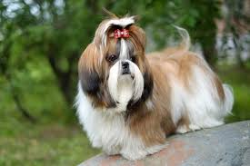 7 things you did not know about ShihTzu