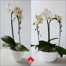 orchidée phalaenopsis pour érailles de chez votre fleuriste à