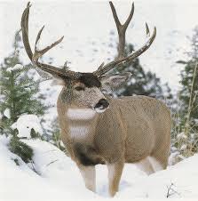 Deer Antler Shedding Cycle by Mule Deer Home Wildlife Ecology Uwsp