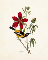 Vintage Audubon Troupial Bird Print
