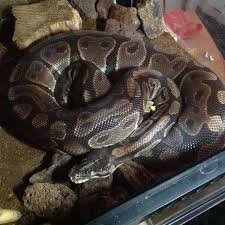 Ball Python Shedding Signs by Cloudy Eyes