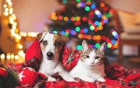 Are Christmas Trees Poisonous To Dogs Uk by 12 Risks Of Christmas U2013 Reducing Threats To Pets Rvc News News
