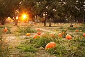 Bishop Pumpkin Farm Wheatland Ca by Pumpkin Patch What Makes Us Click