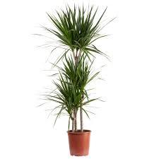 gerandeter drachenbaum dracaena marginata 3 stamm t21 h120