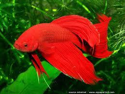 betta splendens poisson combattant du siam élevage