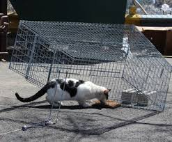 live cat trap neighborhood cats how to tnr trapping the basics