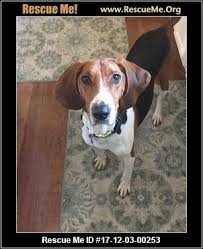 Do Treeing Walker Coonhounds Shed by Indiana Treeing Walker Coonhound Rescue U2015 Adoptions U2015 Rescueme Org