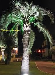 prix des palmiers exterieur butia capitata vente des plus beaux palmiers et cocotiers d