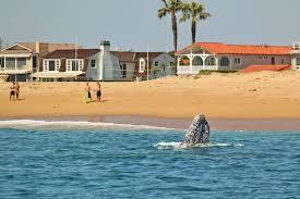 100 Portabello Estate Corona Del Mar Gray Whales Needing To Scratch An Itch Scrub Down On Sandy Beach