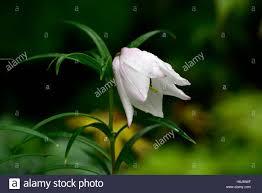 lilium mackliniae shirui or siroi white pink species lilies