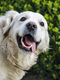 What Kind Of Dogs Shed The Most by Golden Retriever Vs Labrador Which Is The Best Pet