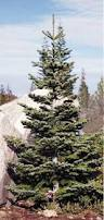 Silver Tip Christmas Tree Artificial by 73 Best Love The Silver Tip Fir Images On Pinterest Christmas