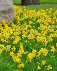 narcissus t罨te 罌 t罨te bulbs buy at farmer gracy uk