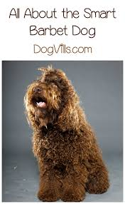 Large Non Shedding Dogs List by The Barbet A Hypoallergenic Dog Breed