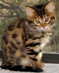 haired cat 271 best cats and kittens images on animals kitty