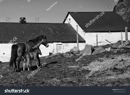 Black White Photo Icelandic Foal Leaning Stock Photo 638132371 ... 8x12 Clubhouse Fisher Barns Black White Photo Icelandic Foal Leaning Stock 638132371 Red Barn These Days Of Mine House White Trim External Features Pinterest Wallpaper Mountains Snow Panorama Bavaria Rural Barns Abandoned Horse Scotts Placeimages And Words Step Inside Designer Mark Zeffs Modern Barn Home In The Hamptons Skma Washington Heritage Register Historic San Juan By Mzart On Deviantart