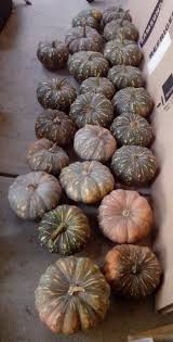 Stages Of Pumpkin Plants by Growing Pumpkins U2013 The Grantham Gardener