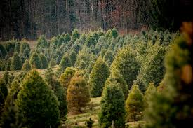 Christmas Trees For Sale At A Farm Offering Several Species Of Conifer Thieves