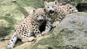 Bronx Zoo Halloween 2014 by Rare Snow Leopard Cubs Make Debut At Bronx Zoo Abc13 Com