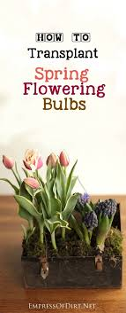 how to transplant flowering bulbs flowering plants