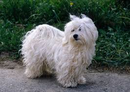Terriers That Dont Shed by 17 Best Small Dogs That Dont Shed 10 Of The Most Low