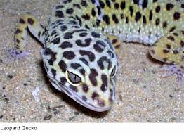 Do Leopard Geckos Shed by My Gecko Just Died Archive Blender Artists Community