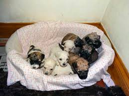 No Shed Dogs Illinois by Teddy Bear Puppies For Sale What You Need To Know