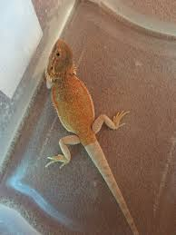 Bearded Dragon Shedding In Patches by Bearded Dragon White Legs Reptile Forums