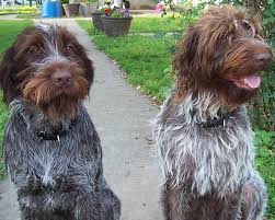 Do Hungarian Wirehaired Vizslas Shed by French Wire Haired Korthals Pointing Griffon Dogs Pinterest