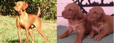 Vizsla Dog Breed Shedding by Top 10 Dogs Good With Children Part Ii