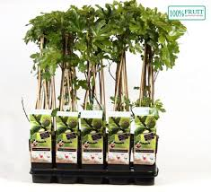 ficus madeleine des deux saisons 70 cm feige feigenbaum