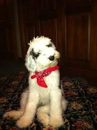 non shedding hypoallergenic hybrid dogs newfkom puppies non shedding and non drooling hybrid my dogs