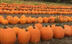 Puyallup Pumpkin Patch by Seattle Perks Discounted Pumpkins At Sidhu Farms