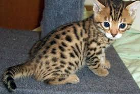 shorthair cat price teacup munchkin cat kittens mau kittens