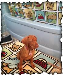 When Do Vizslas Shed Their Puppy Coat by New Puppy Tips Lollypupgirl Dog Blog
