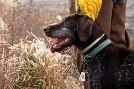 German Shorthaired Pointer Shed Hunter by Ah0015df Jpg Aspx