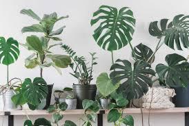 top 10 große und robuste zimmerpflanzen absolut pflegeleicht