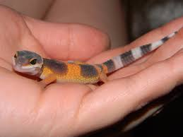 Do Baby Leopard Geckos Shed by This Is Baby Brody Back In May Of U002712 He Is A Hypo Tangerine