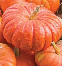 Fertilizer Requirements For Pumpkins by Rouge Vif D U0027etampes Pumpkin Seeds