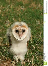 Baby Barn Owl Stock Images - Image: 1109394 Barn Owl Focus On Cservation Best 25 Baby Ideas On Pinterest Beautiful Owls Barn Steal The Show As Day Turns To Night At Heartwood Family Ties Owl Chicks Let Their Hungry Siblings Eat First The Perch Uncommon Banchi Baby Coastal Home Giftware From Horizon Stock Image Image Of Small Young Looking 3249391 You Know Birdnote Banding By Alex Lamoreaux Nemesis Bird