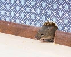 une souris court dans votre maison que faire